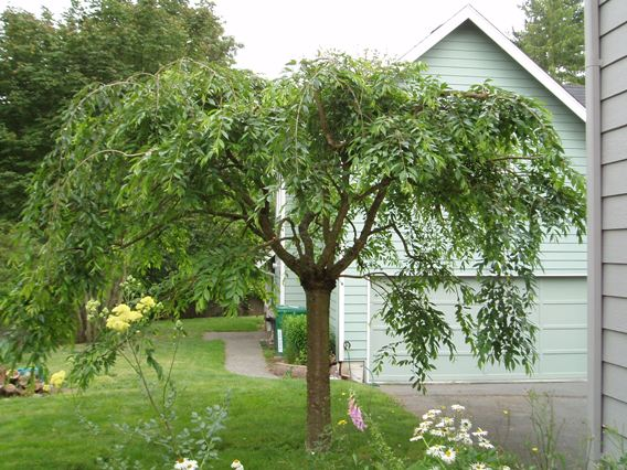 WEEPING ORNAMENTAL CHERRY