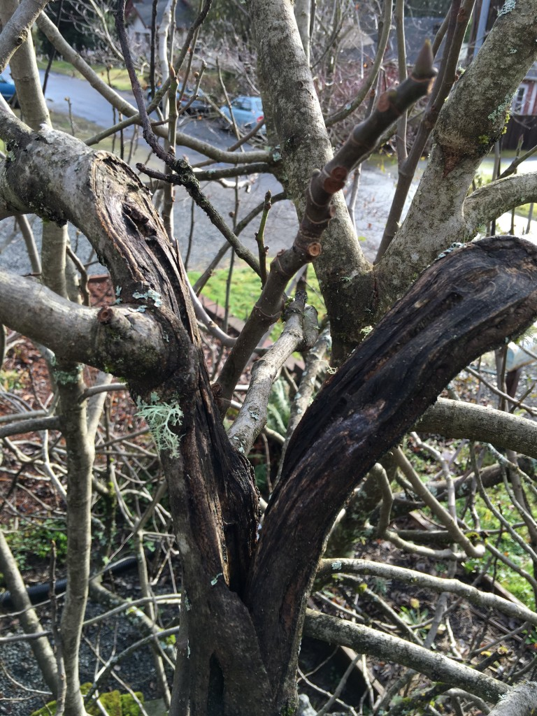 Overburdened Fig Tree Limbs