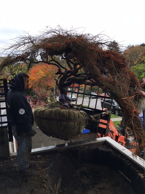 Supervising Transplantation/Positioning of a Japanese Lace Leaf Maple