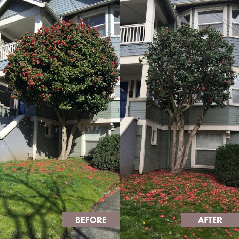 Overgrown Camellia - After Reduction & Thinning