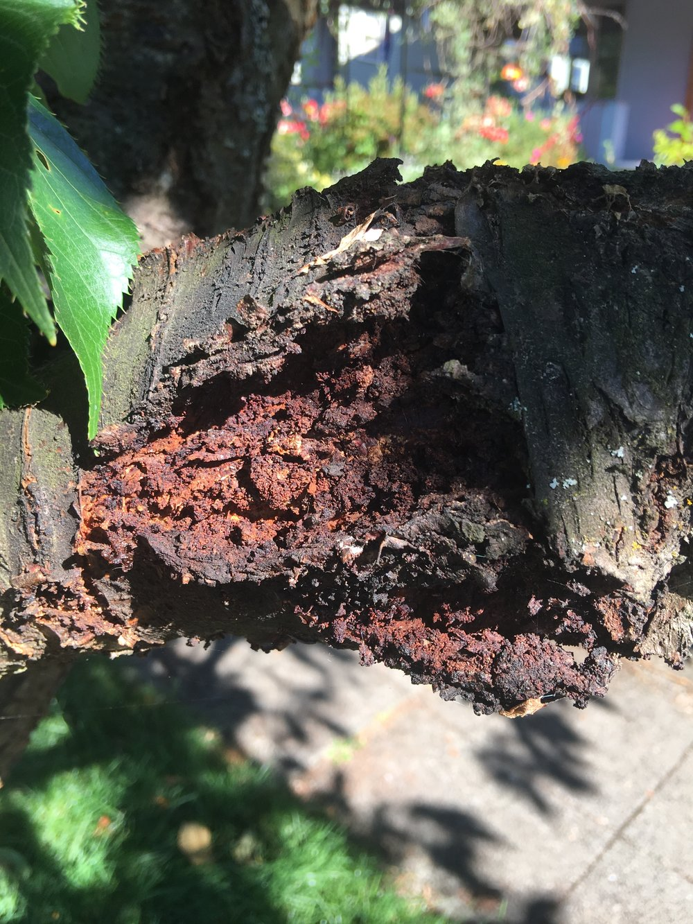 Indication of Cherry Bark Tortrix Infestation of Ornamental Cherry Tree