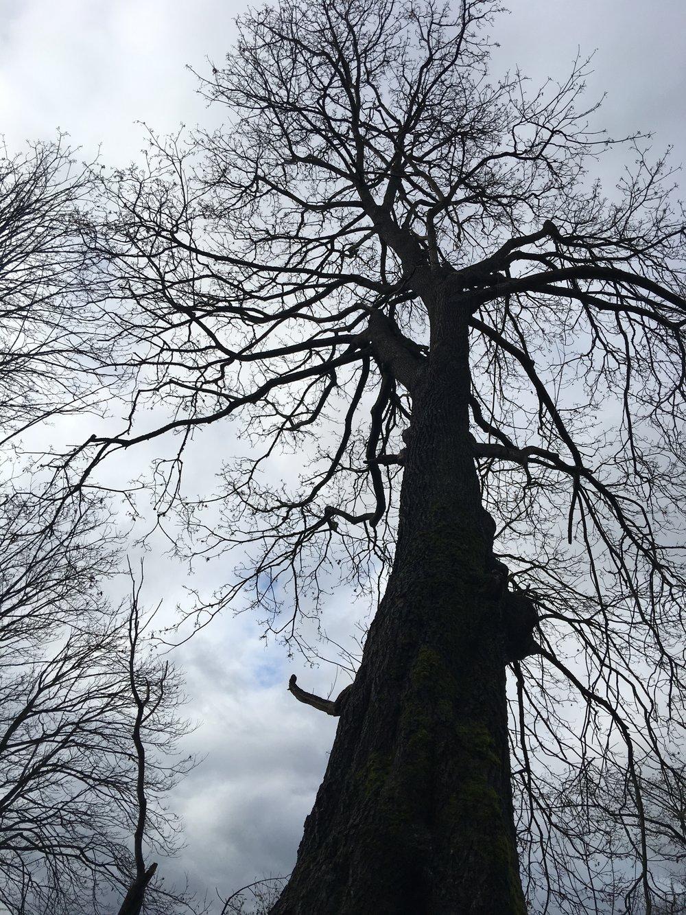 Carkeek Park Big Leaf Maple.*