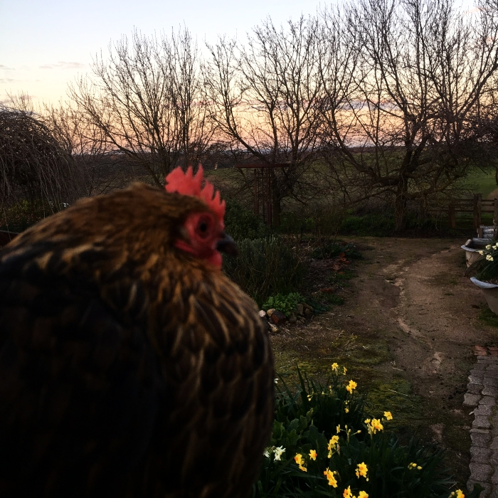 HAPPY CHOOKS, WITH SUNSET VIEWS