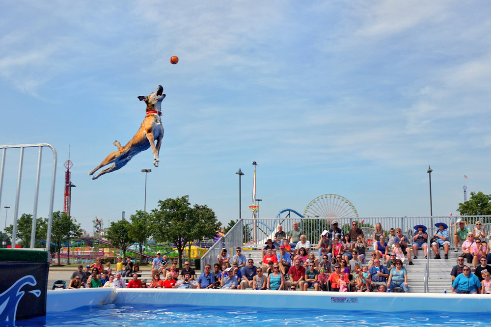 Hi-Ho is one of our smallest dock diving dogs, but he gets some big air at the Kentucky State Fair!