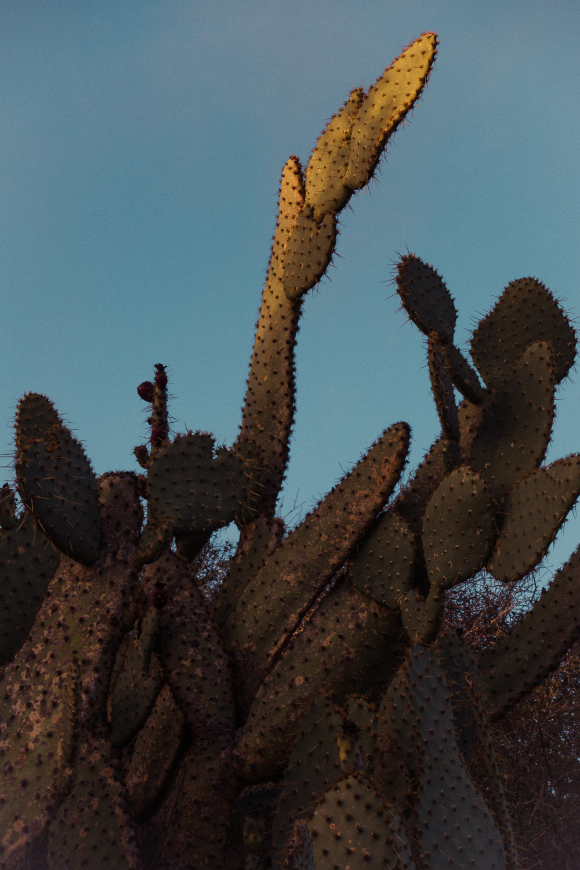 Cacti II | Mojave Desert