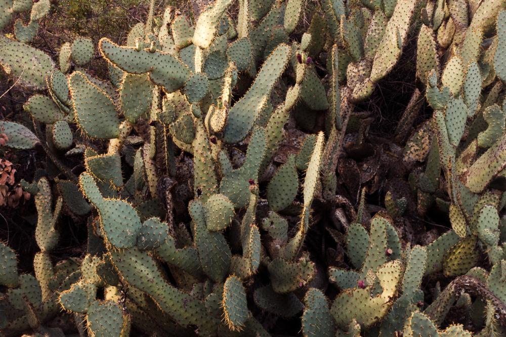 Cacti | Mojave Desert