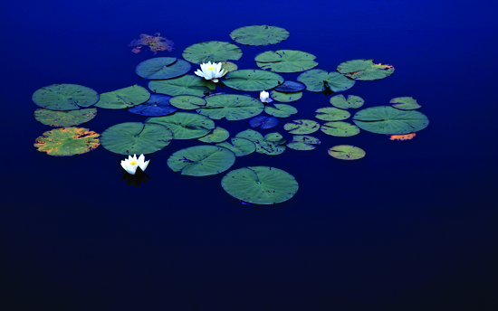 Gustavo Ten Hoever  Waterlilies , 2010 c-print 30 1/2 x 47 1/4 in. edition 1 of 10