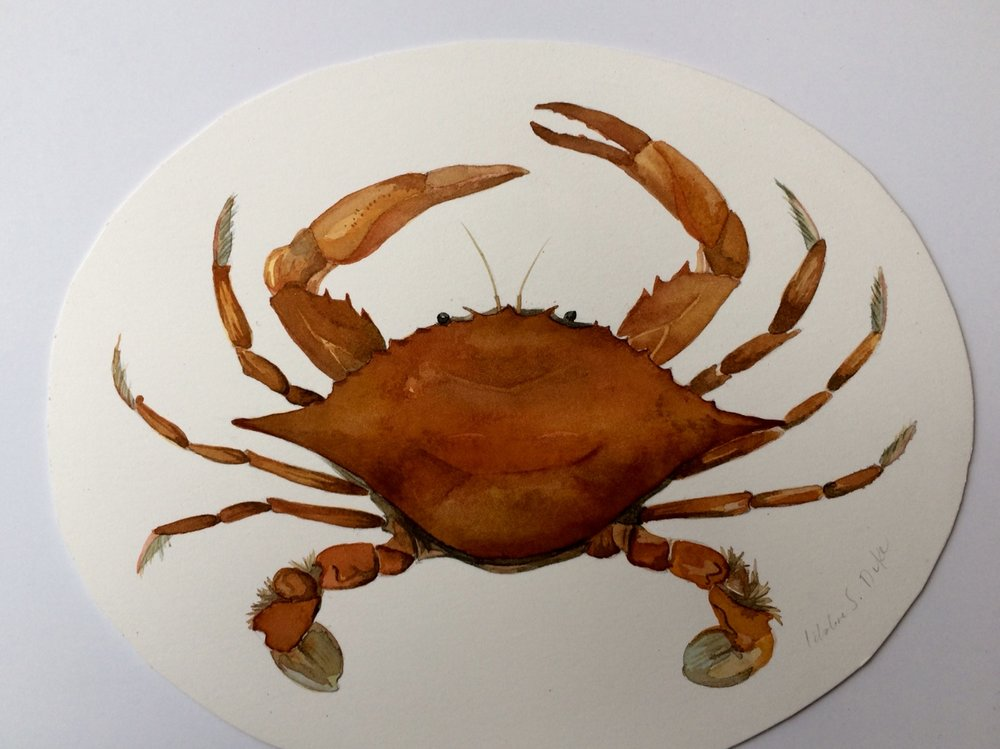 Idoline Duke  Orange Crab  watercolor on paper 9 in. oval