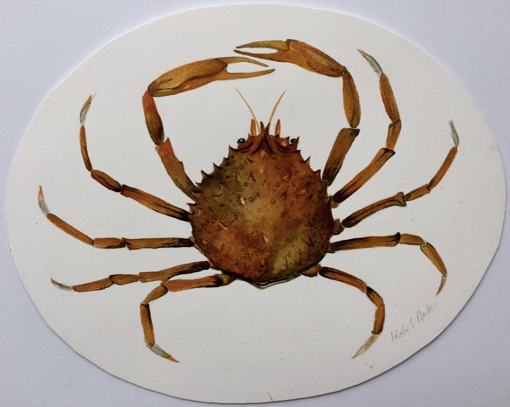 Idoline Duke  Spider Crab II  watercolor on paper 10 x 12 in. oval
