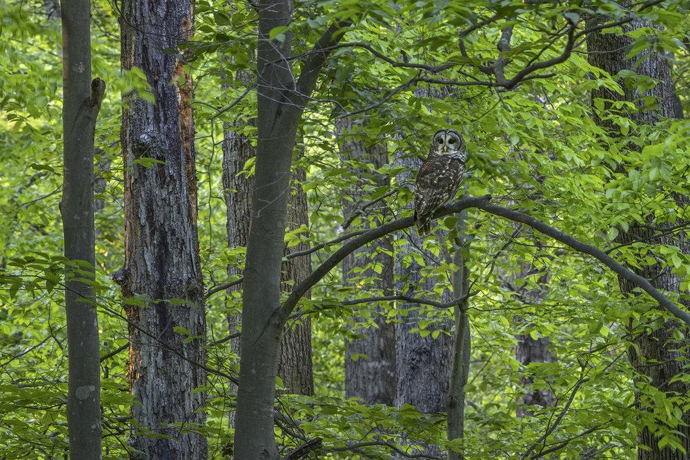 003_Barred Owl.jpg