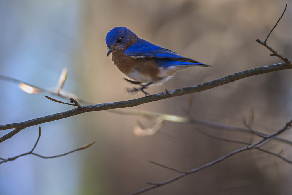 029_Bluebird.jpg