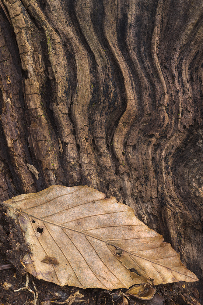 Beech leaf, Pine _00375-1-2-16.jpg
