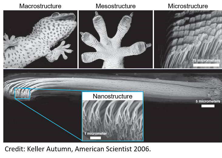 Like many biological materials, gecko toe pads show a hierarchical structure. This type of structure, with different features on different length scales, is useful for a number of reasons. For adhesion, there is an immense contact area to magnify weak forces between the spatulae tips and microscopic contours on surfaces. The multiple contact points also give robust adhesion on contaminated surfaces. The hierarchical structure is also self-cleaning between water droplets cannot penetrate the dense setal forest. Perhaps most impressively, it is also resistant to bacteria.  Image modified from 2006 American Scientist paper by Keller Autumn.