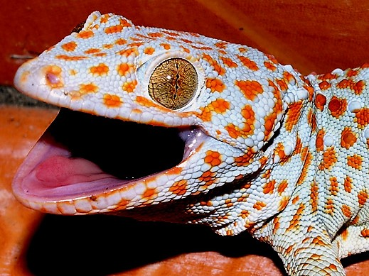 In addition to being nature's greatest climbers, geckos are also among her most photogenic.