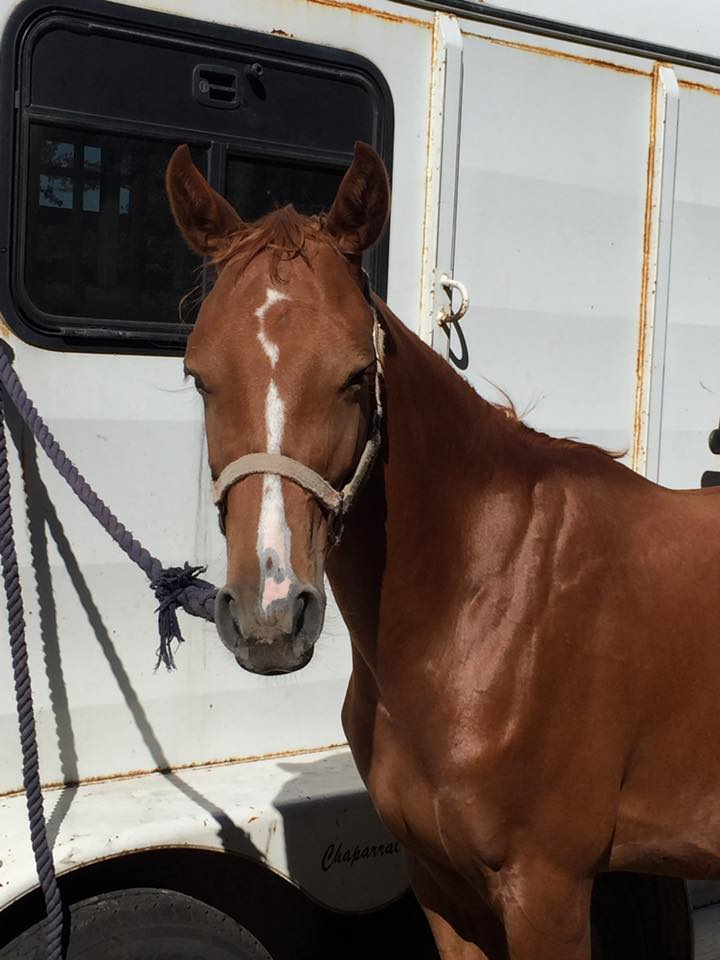 cricket, 2-year-old qh/tb