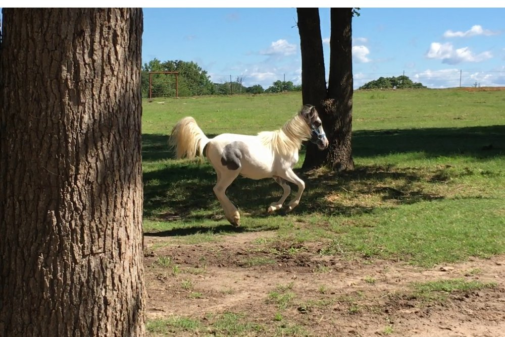 Opossum, 7 month old paint pony