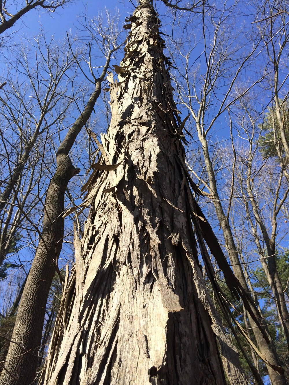 A shagbark hickory nut tree on Powow Hill.