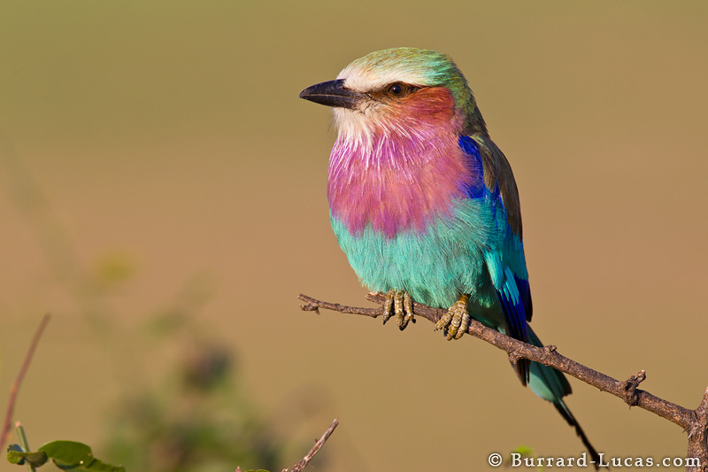 This is not me. This is a lilac breasted roller. Photo by Lucas Burrard