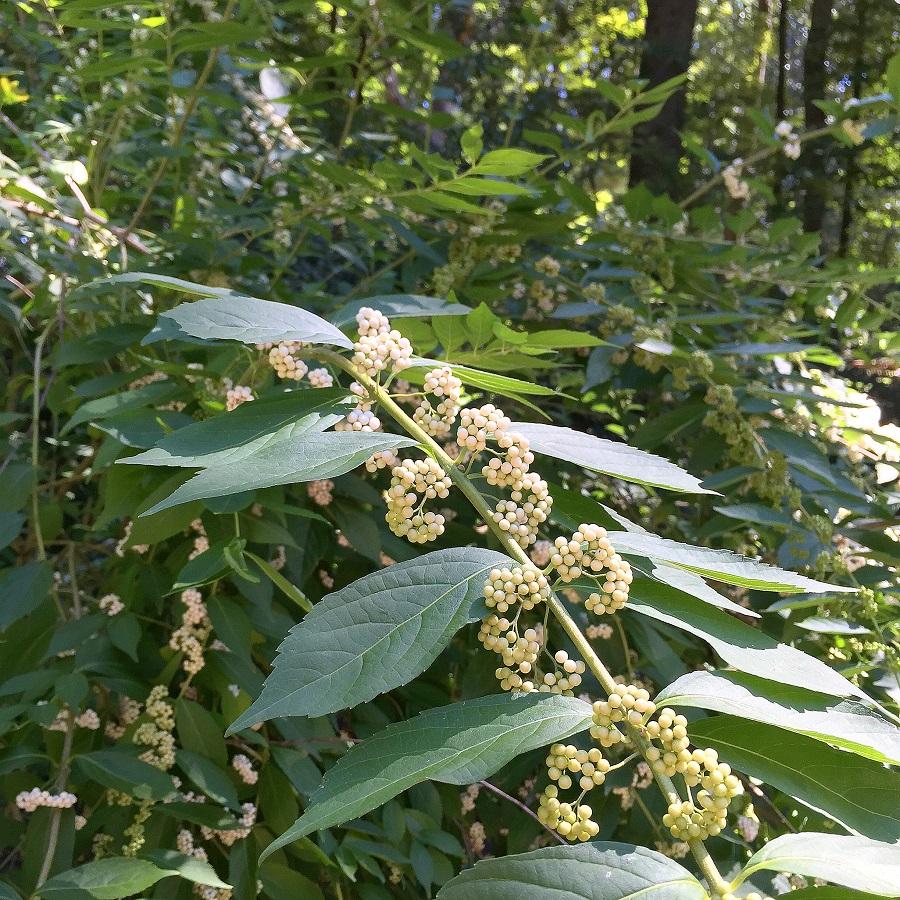 Callicarpa americana, American beautyberry