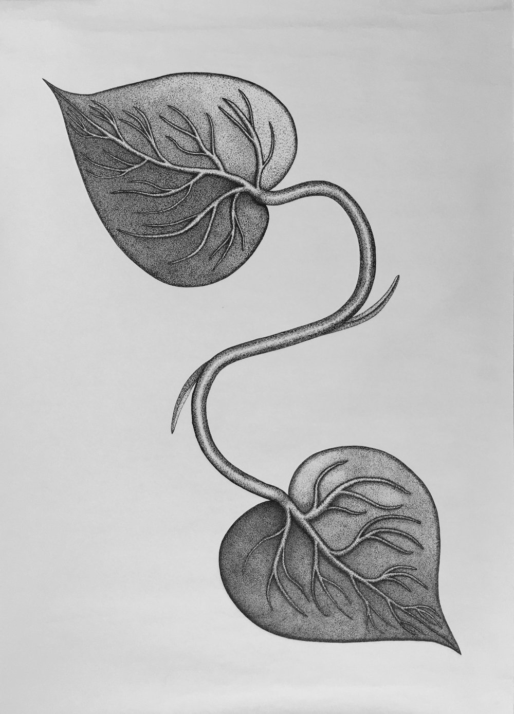Untitled (Ivy)   60 X 42in,  Ink on paper