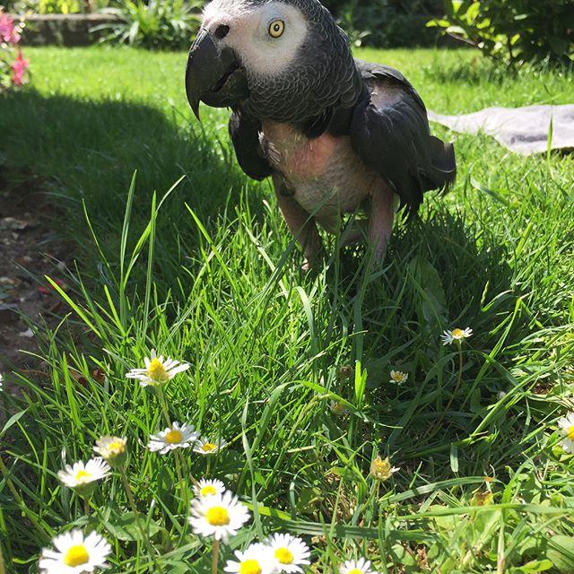 Benny enjoying the sun #parrotsocietyuk #parrotsofinstagram #parrots #parrots_life