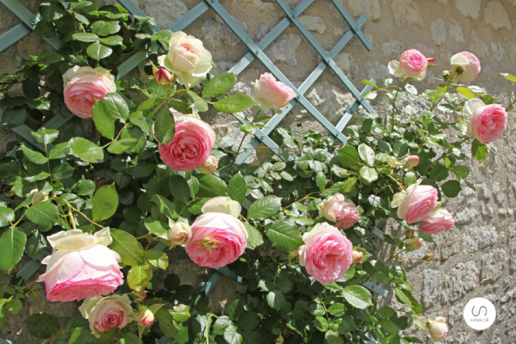 What can be used as a living wall? Roses can, for example.