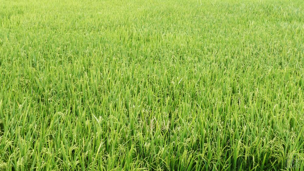 langkawi-rice-farm-04.jpg