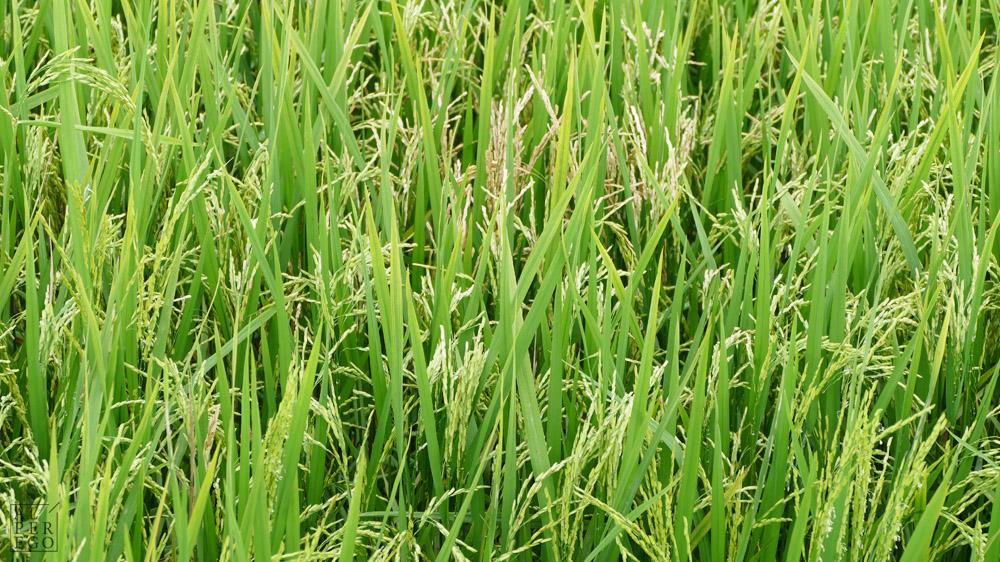 langkawi-rice-farm-05.jpg