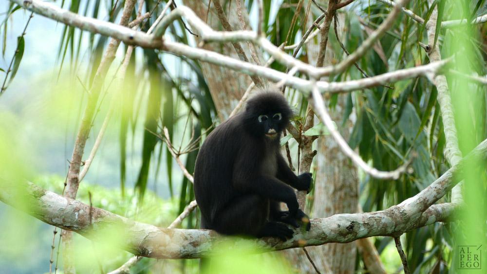 gunung-raya-langkawi-10-dusky-leaf-monkey.jpg