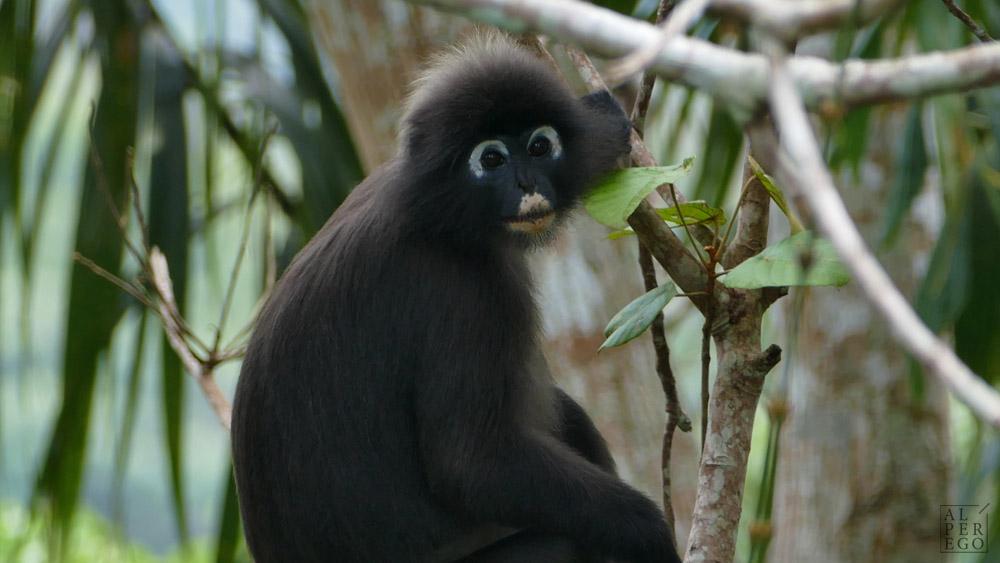 gunung-raya-langkawi-11-dusky-leaf-monkey.jpg
