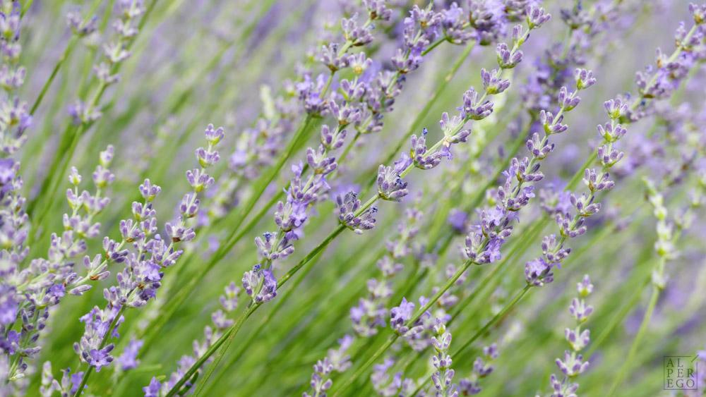lavender-gardens-02.jpg