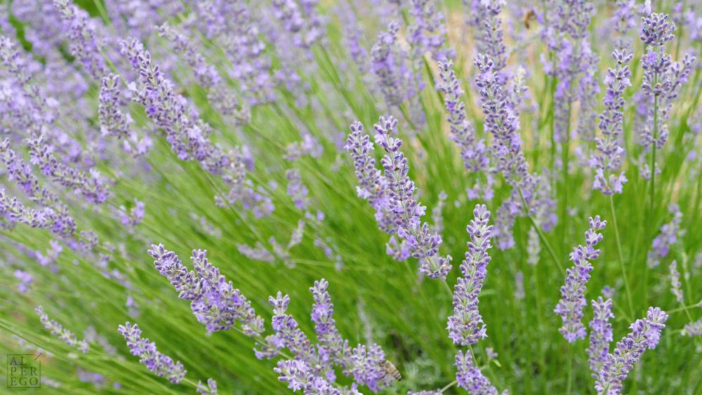 lavender-gardens-06.jpg