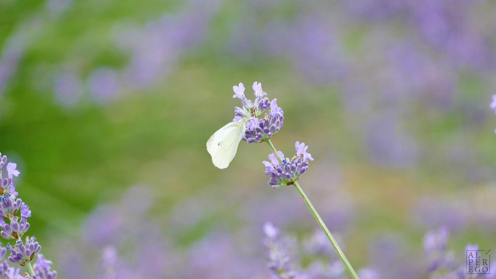 lavender-gardens-08a.jpg