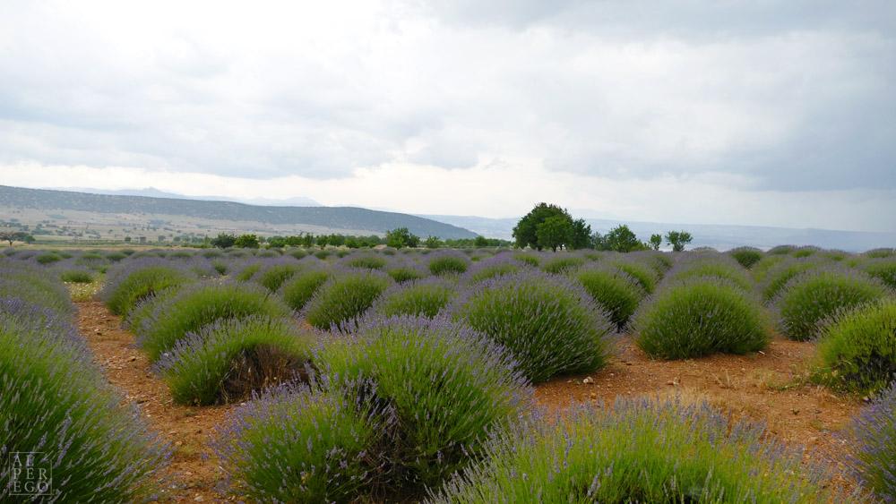 lavender-gardens-09.jpg