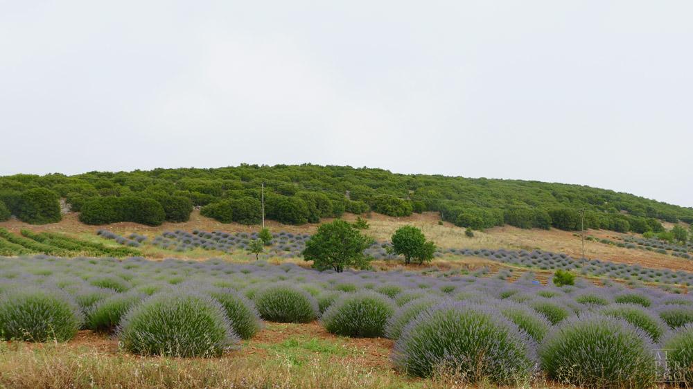 lavender-gardens-12.jpg
