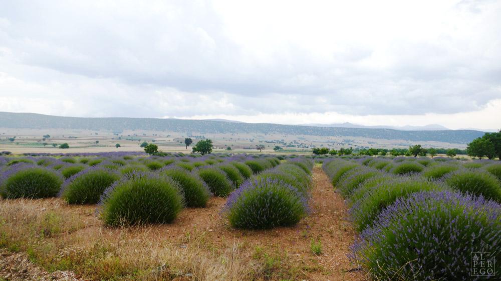 lavender-gardens-13.jpg