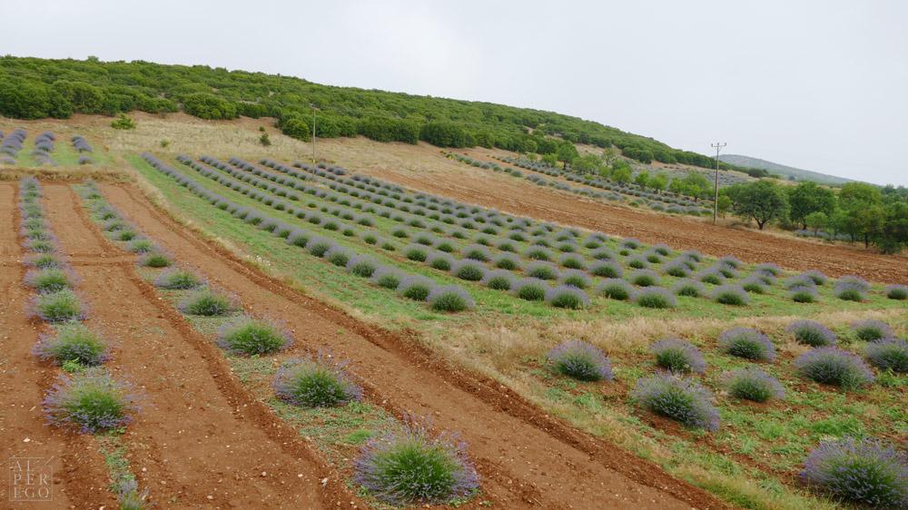 lavender-gardens-14.jpg