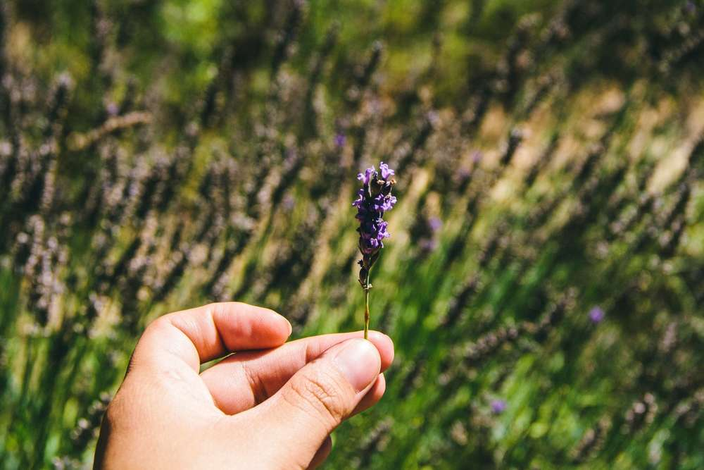 La Petite Californienne: Finding lavender in the Luberon Valley