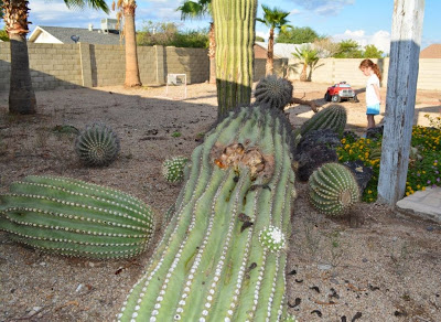how to get rid of cactus in your yard