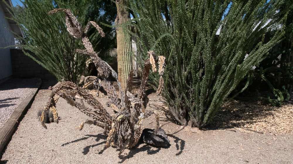 Dead-Cholla-Cactus.jpg