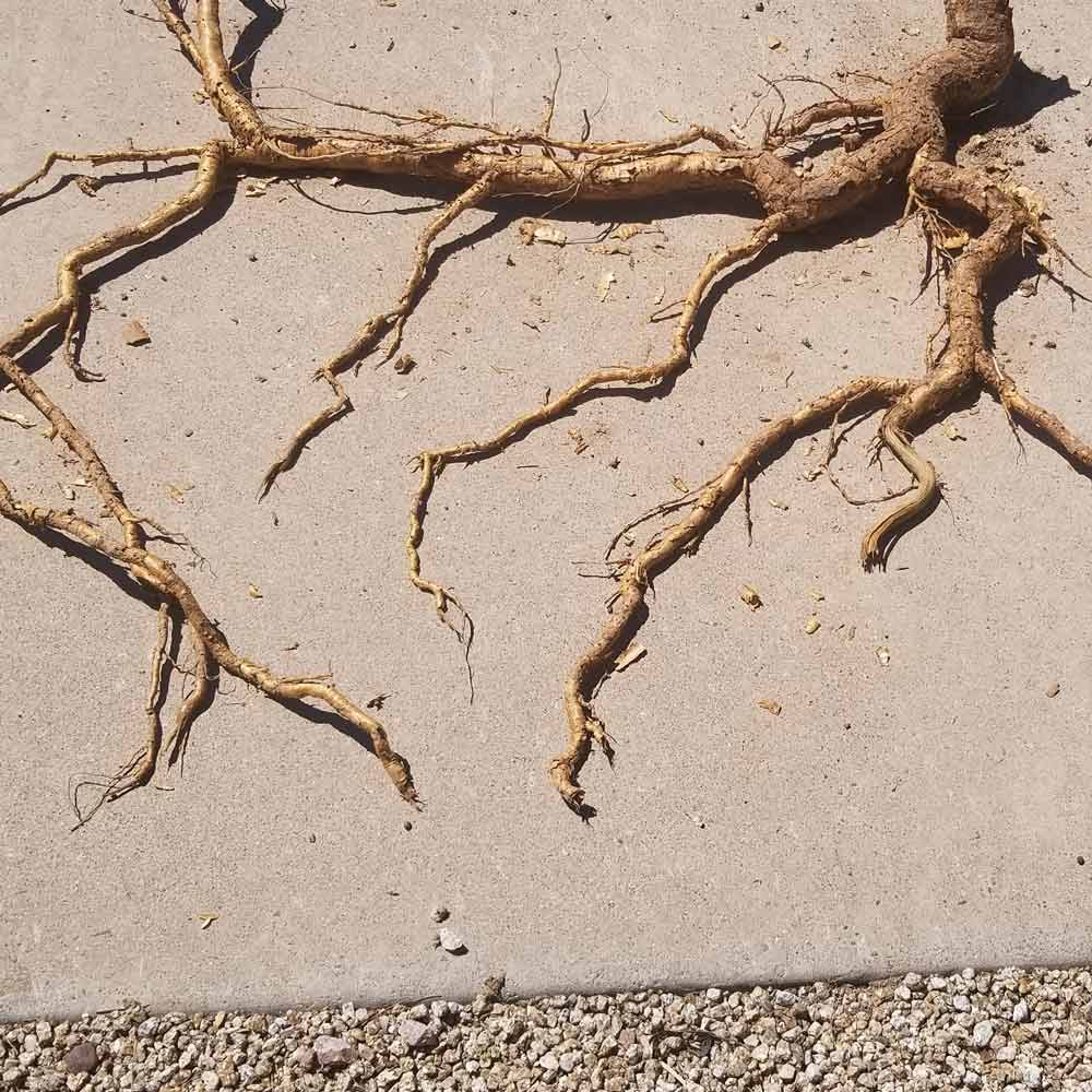 Cactus-root.jpg