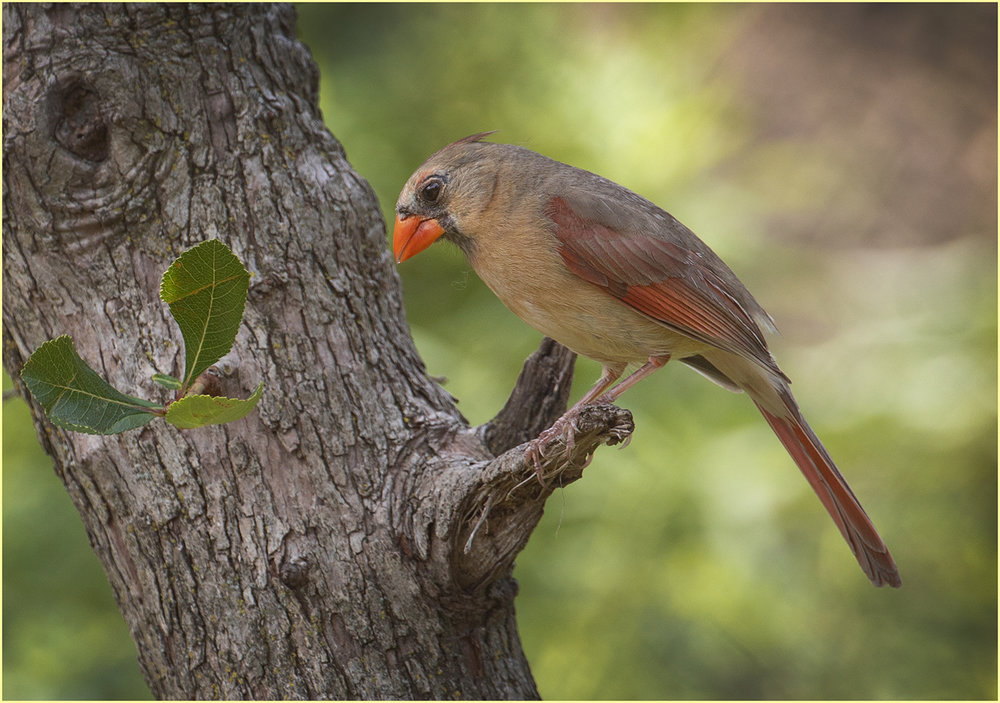 Female Cardinal - Jennifer Hagemeyer - BOS - DPI