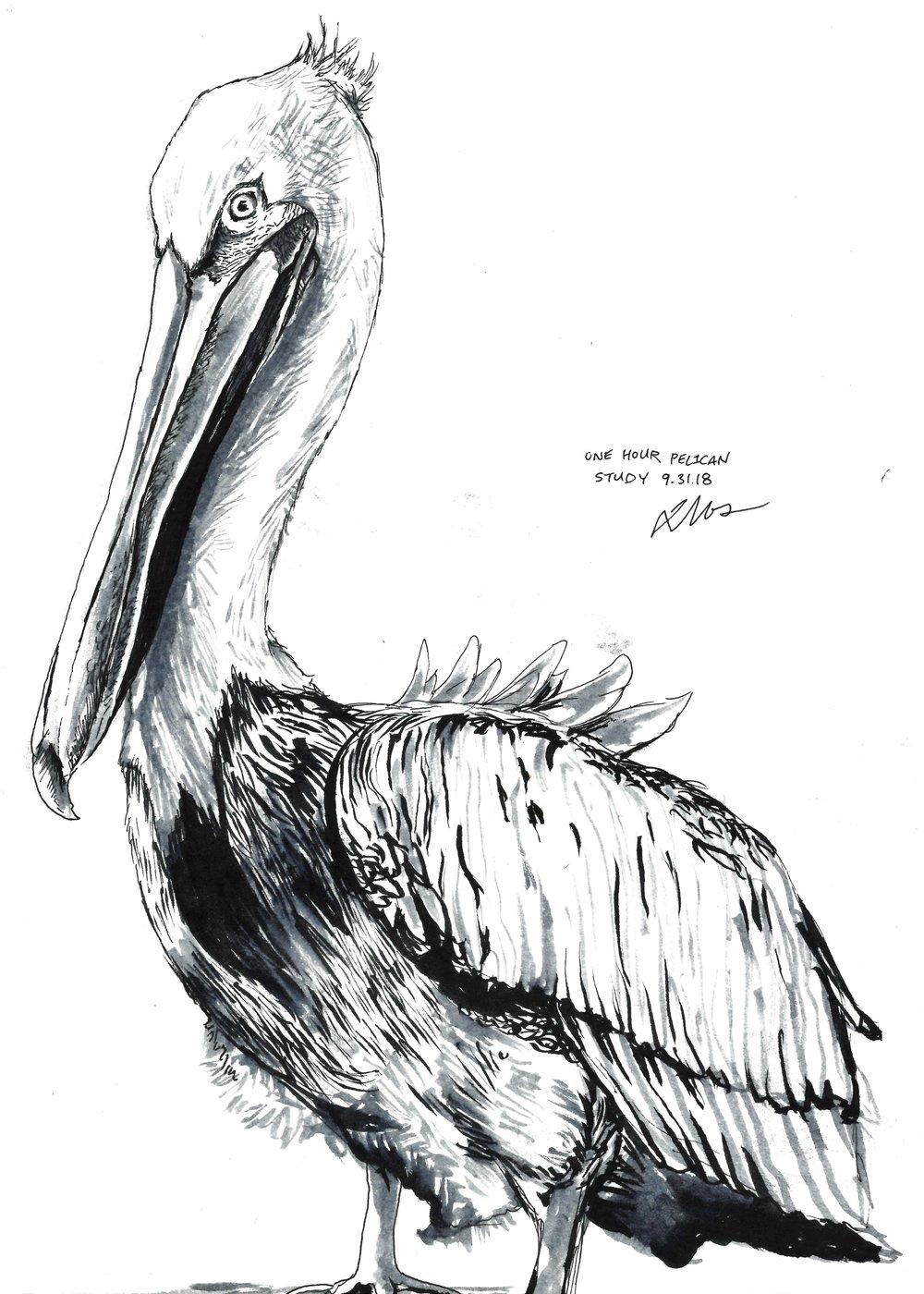 Pelican Study1.jpg