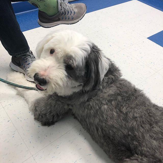 He is even happy at the vet's office!  #sherlock #oes #oldenglishsheepdog #happydog #doggo #dogsofinstagram #oldenglishsheepdoggram