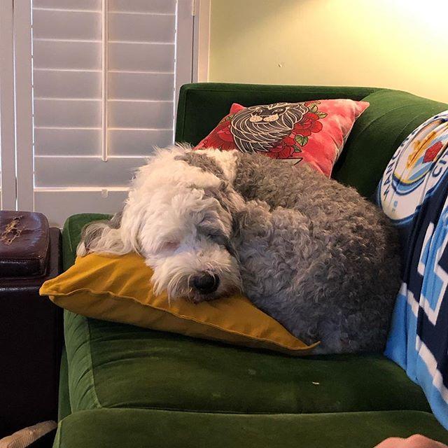 Happy Birthday Adler! Turning 4 must be so tiring!  @corrinebg @goslingphoto  #adler #oes #birthdaygirl #oldenglishsheepdog #birthdaypup #sleepysheepy #sleepysheepie #dogstagram #dogsofinstagram #sheepdog