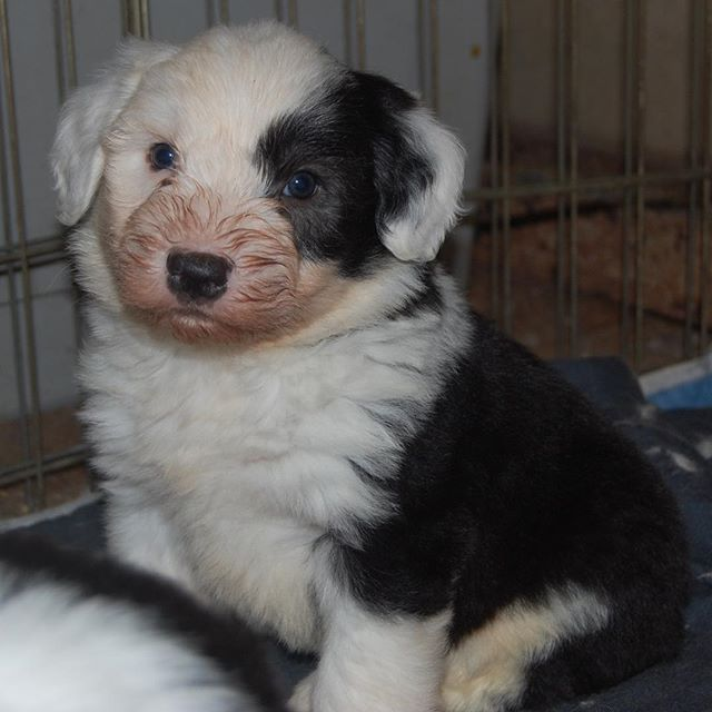 Have you ever wondered what Sherlock looked like at five weeks old? He was known as Andrew by his litter mates, but quickly stepped into Sherlock.  #sherlock #oes #oldenglishsheepdog #oldenglishsheepdogpuppy #puppy #dogs #dogsofinstagram #pupper  @corrinebg @goslingphoto