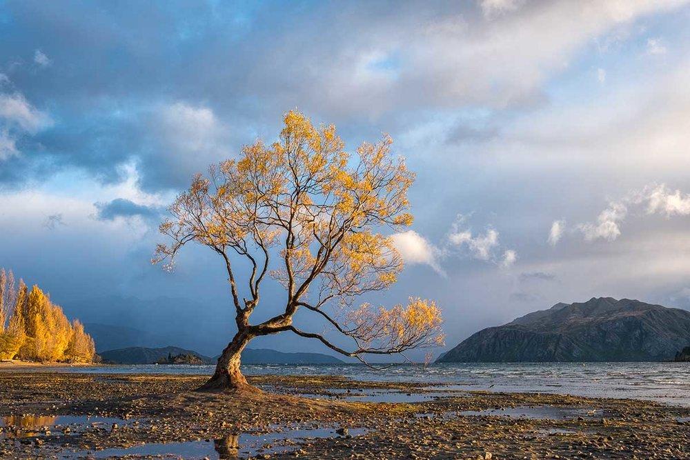 The Lone Tree, Wanaka