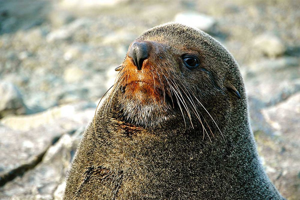 Fur Seal, Kaikoura
