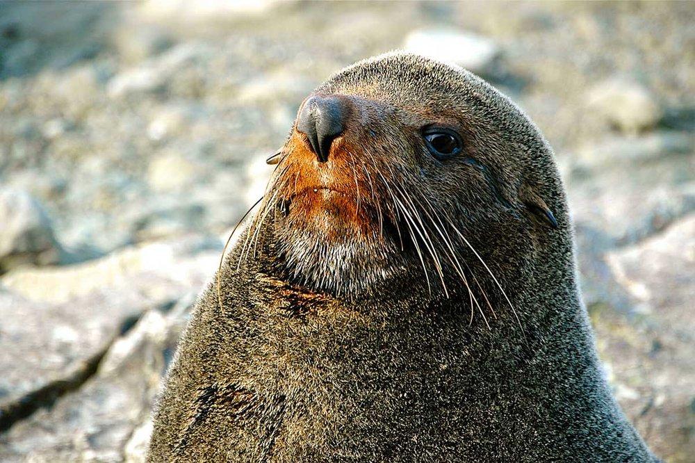 Fur Seal, Kaikoura