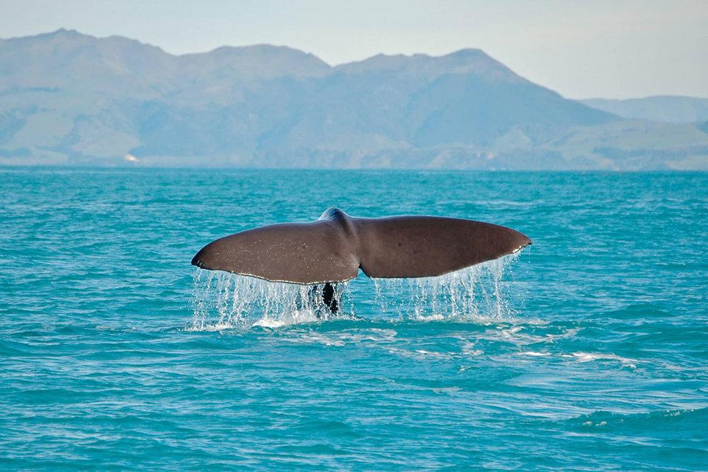 Whale Watch, Kaikoura